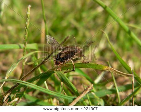 Stinkbug Taking Flight