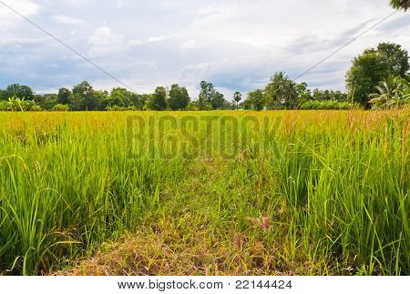 Walk Way In Paddy Field