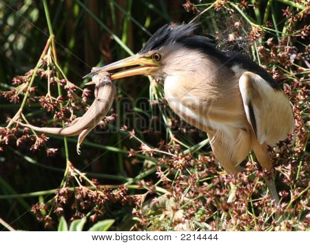 Little Bittern Hunting With Prey