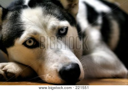 Husky perezoso