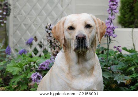 lindo labrador