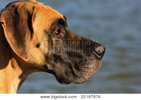 great dane and water