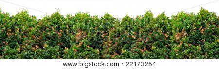 Shrub Foliage
