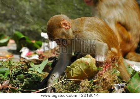 Scavenging Monkeys