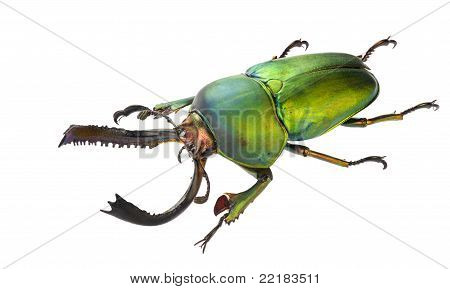 Lamprima Adolphinae