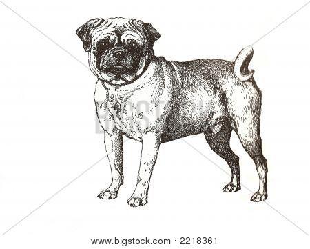 Illustration Of Pug