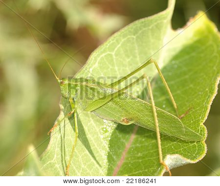 Katydid On Leaf