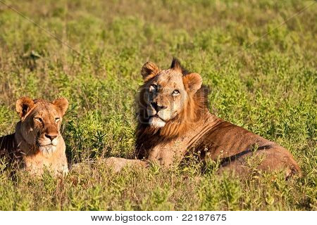Male And Female Lion Lying In Grass