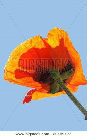 Orange Poppie