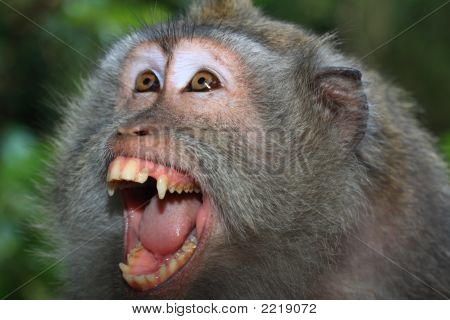 Angry Wild Monkey (Long-Tailed Macaque) Portrait