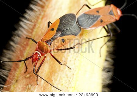 Cotton Bugs