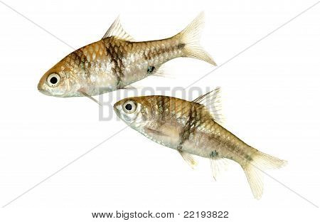 Spanner Barbs or T-Barbs