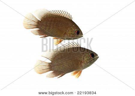 A Pair of Malamba Leaf Fish