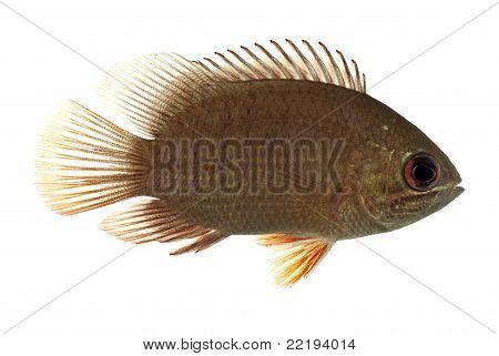 The Malamba Leaf Fish