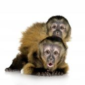 image of baby-monkey  - Two Baby Capuchins  - JPG