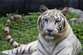 picture of white-tiger  - medium shot of a beautiful and elegant white bengal tiger at the zoo - JPG