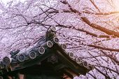 Cherry Blossom With Traditional Japanese Roof. Cherry Blossom In Spring, Japan. poster