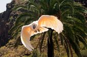picture of palm cockatoo  - A pink Cockatoo flying against a tropical backdrop of mountains and palms - JPG