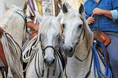 stock photo of gaucho  - three camargue horses with gauchos in Arles Languedoc Roussillon France - JPG