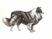 foto of dessin  - illustration of collie shepherd in black and white - JPG