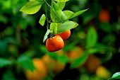 image of mandarin orange  - Orange farm in Cyprus - JPG