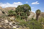 picture of cottonwood  - Cottonwood Spring at Joshua Tree National Park - JPG