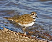 picture of killdeer  - Killdeer standing on rocky shore - JPG