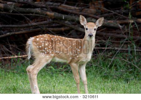 Baby White-Tailed Deer (Odocoileus Virginianus)
