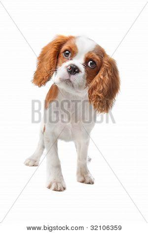 Cavalier King Charles Spaniel Puppy