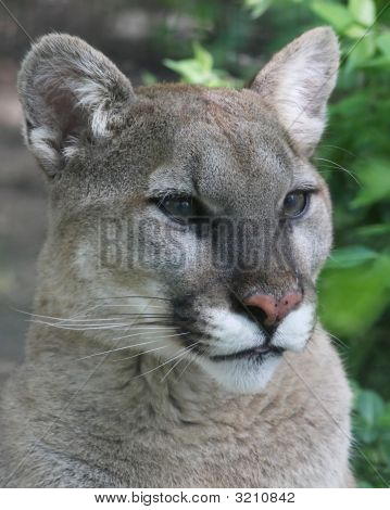 Cougar Profile