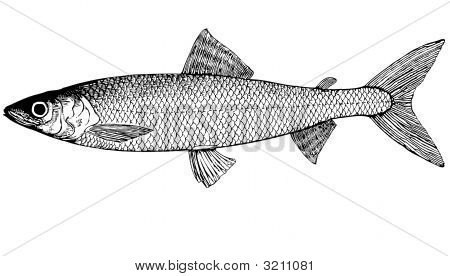 Fish Omul' Coregonus Autumnalis Illustration