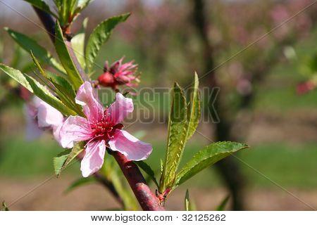 Blooming Peach
