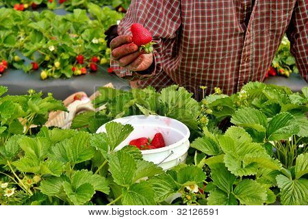 Strawberries being picked -2