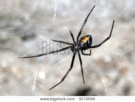 Blackwidow Spider