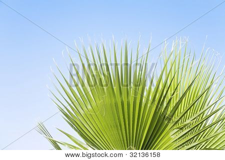 leaves of a palm tree against the clear blue sky