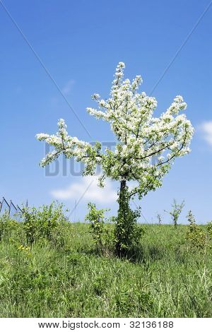 Lonely blossoming tree with white flowers during a spring season