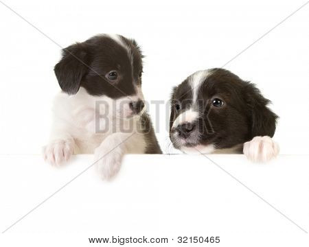 Two newborn border collie puppies with paws on a message board
