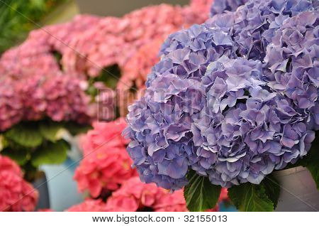 Blue Hydrangea Bodensee Blossing In Keukenhof Park In Holland