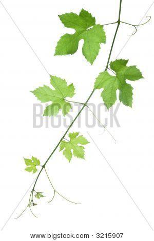 Traube-Blätter