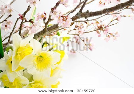 Cherry blossoms and narcissus