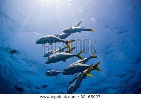 Reef Jacks