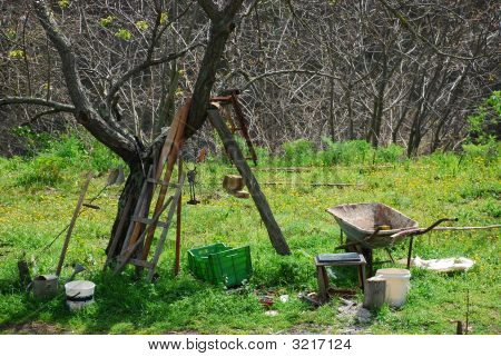 Olive Tree In A Vegetable Garden In Tuscany