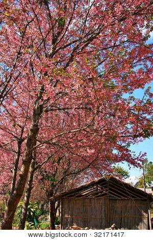 Pink Sakura Thailand With Old Wood Cottage