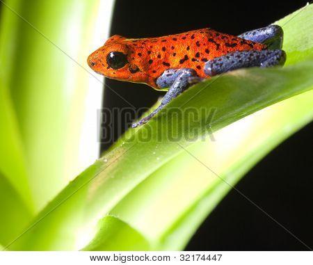 red poison dart frog dendrobates pumilio tropical rainforest frog