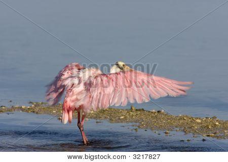 Rosalöffler flattern seine Flügel