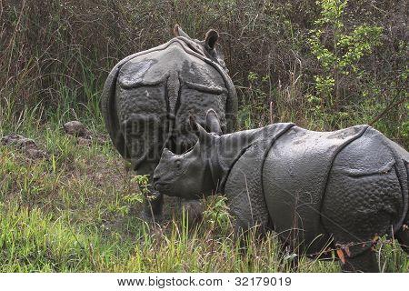 Black Rhinoceros And Baby