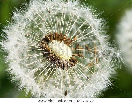 common dandelion (Taraxum officinalis)