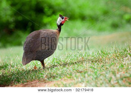 Wild guinea fowl outdoors