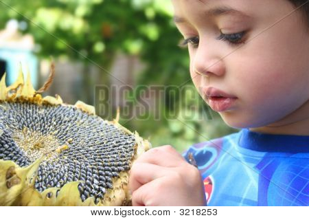 Young Boy Picks On Sunflower Seeds Outdoor In Summer