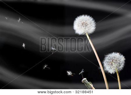 Dandelion Flowers (taraxacum Officinale)